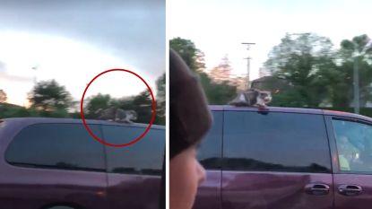 VIDEO: 'Rebel' de kat beleeft schrik van zijn leven op dak van rijdende auto