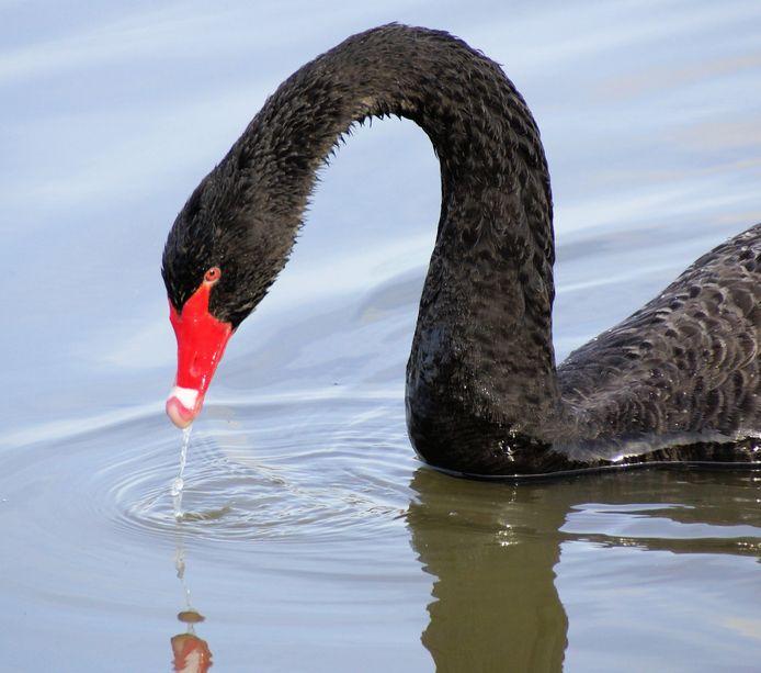Zorro. De kenmerkende zwarte zwaan met de felrode snavel.