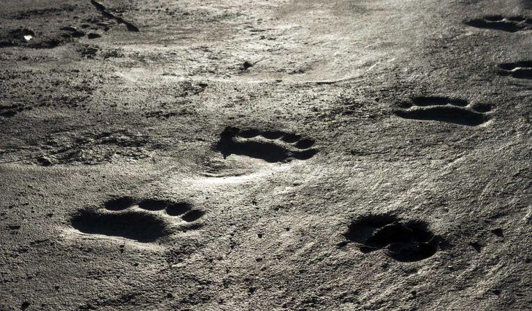 De voetsporen van een ijsbeer. Beeld anp