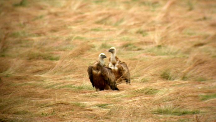 Archieffoto: twee gieren.