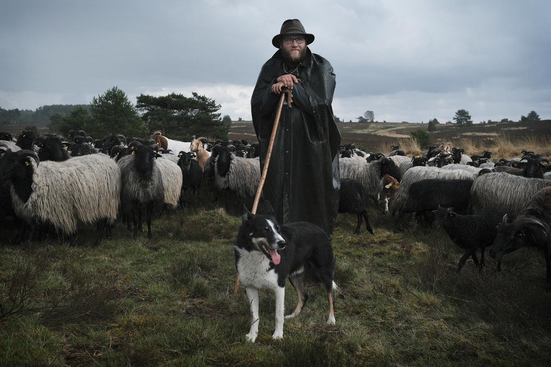 Herder Clemens Lippschus met zijn schapen en hond op de Lüneburger Heide. Lippschuss ziet de aanvallen door wolven toenemen.