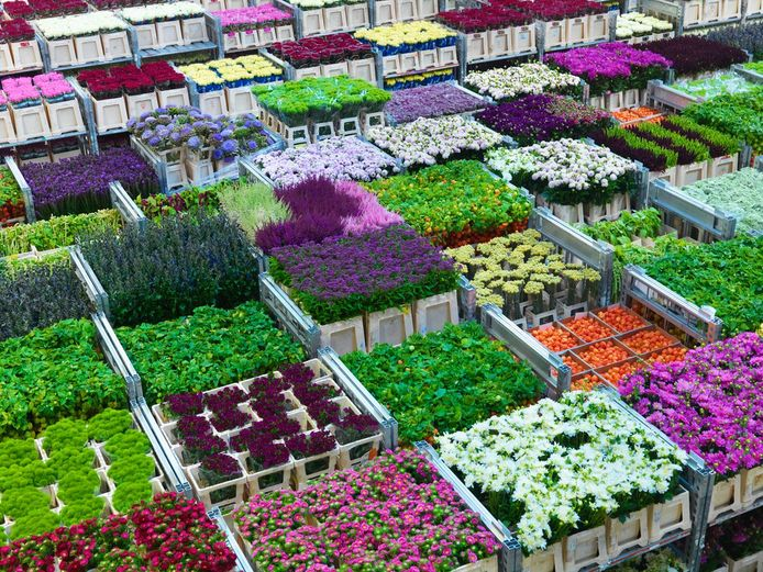 Bloemen bij Royal FloraHolland