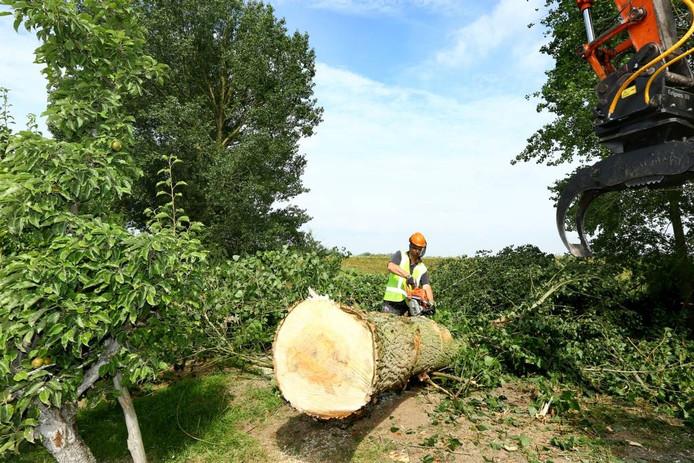 Kappen bomen in Beusichem voor het project Stroomlijn Foto: Tamara Reijers