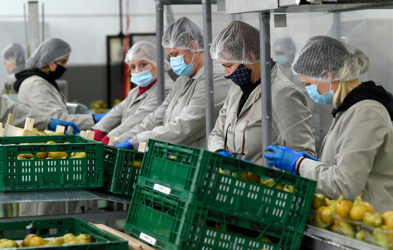 Arbeiders sorteren peren in een fruitplantage in Borgloon. 'Arbeidskwaliteit is de sleutel voor wie langer werken mogelijk wil maken. En die wordt bepaald door de organisatie van het werk', stellen de auteurs.  Beeld Photo News