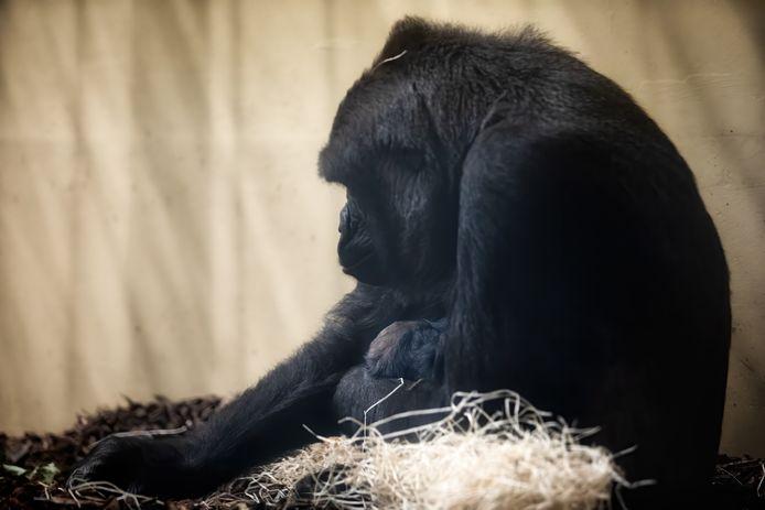 In safaripark De Beekse Bergen in Hilvarenbeek is een laaglandgorilla geboren.
