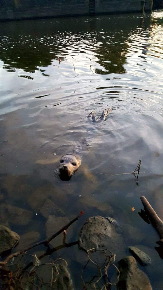 De zeehond in de Dender, ver van zee