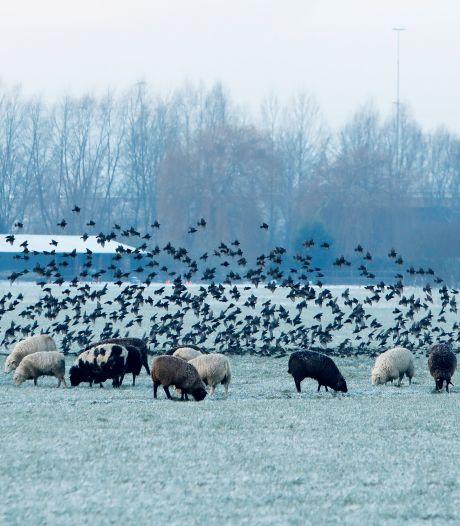 Groot plezier van boeren: tienduizenden spreeuwen bij Knooppunt Valburg