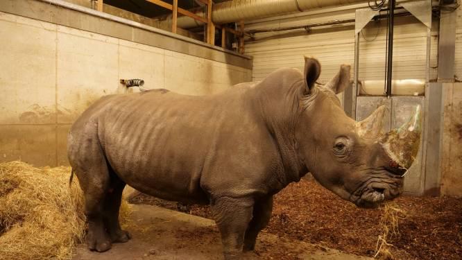 Nieuwe witte neushoornman Limpopo moet voor nageslacht zorgen in Wildlands