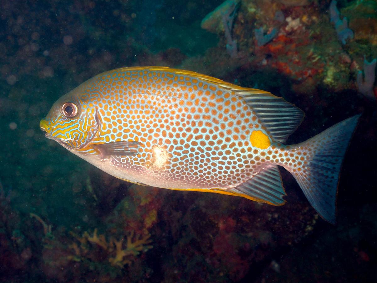 L'arrivée des poissons-lapins en Méditerranée inquiète les scientifiques ?appId=21791a8992982cd8da851550a453bd7f&quality=0