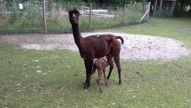 LABIOMISTA vernoemt pasgeboren alpaca naar olympisch kampioen Nina Derwael