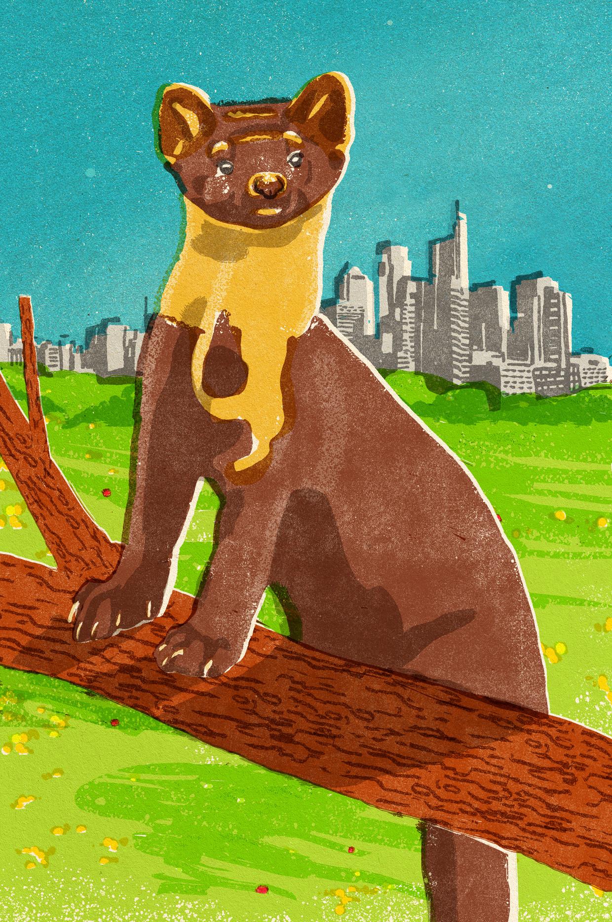 De klassieke opvatting was dat de boommarter zich alleen maar ophoudt in bosrijk gebied en op eekhoorns jaagt. Dat klopt niet, weten we inmiddels.  Beeld Tzenko