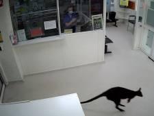 Un wallaby s'invite dans un hôpital en Australie