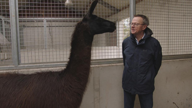 Een lama in 'Pano' Beeld VRT