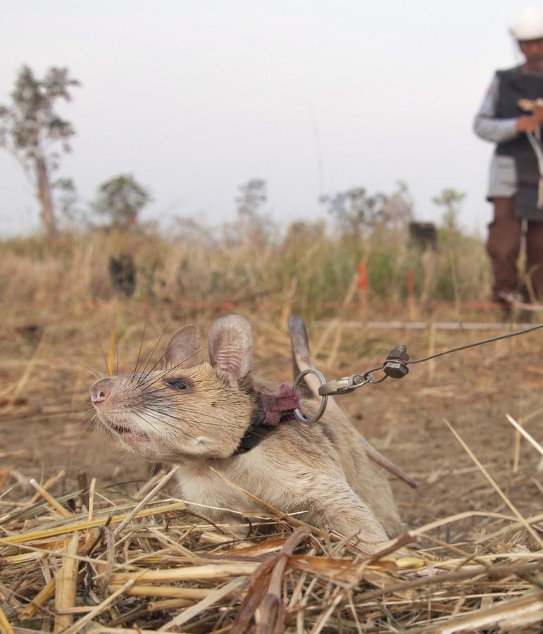 Magawa helpt met zijn speurwerk nieuwe slachtoffers voorkomen. In totaal kwamen 64.000 mensen om in Cambodja door landmijnen.