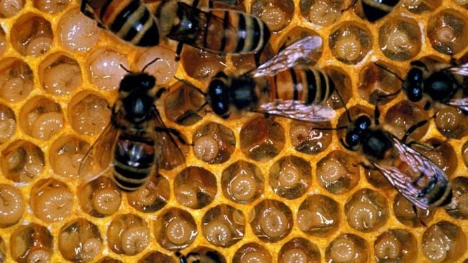Honingbijen sterven door uitlaatgassen