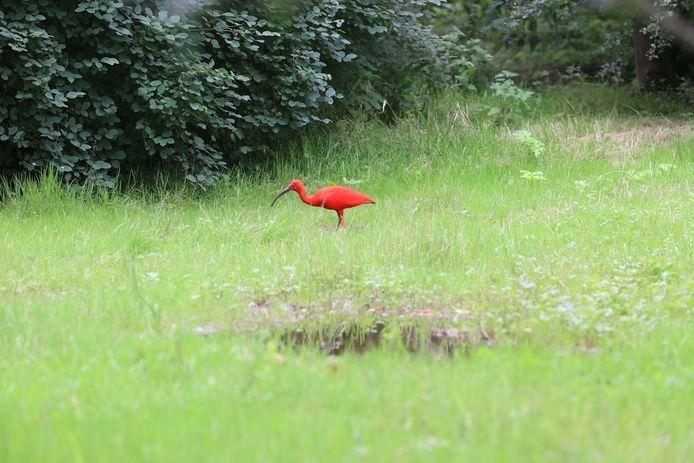 De Rode Ibis werd gespot in Eindhoven