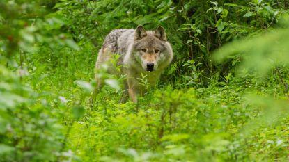 Gezin is op kampeervakantie in Canada wanneer het ondenkbare gebeurt: ze worden aangevallen door wolf