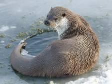 Jonge otters gespot in 'kraamkamer' de Nieuwkoopse Plassen