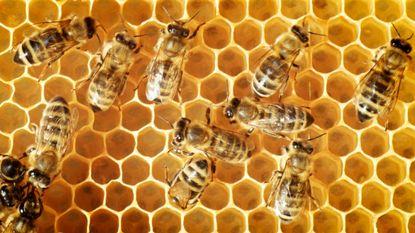 Bijen steken niet alleen, ze bijten ook