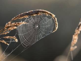 Mensen met spinnenangst overschatten grootte van spinnen