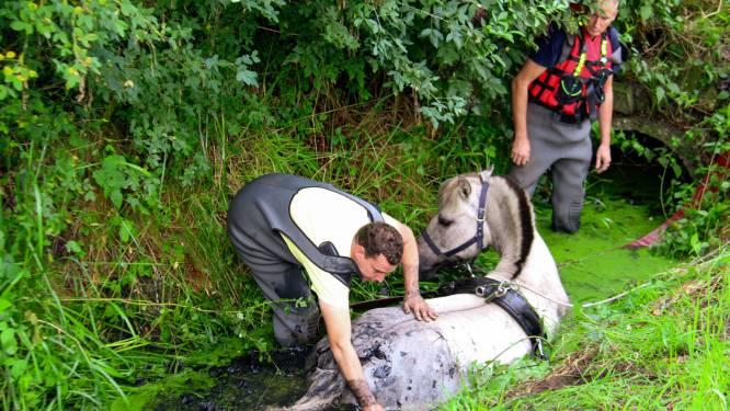 Paard schrikt van zwaan en springt in sloot: gered dankzij brandweer