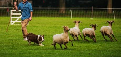 Schapendrijfwedstrijd bij melkveebedrijf Commijs in Maasdam