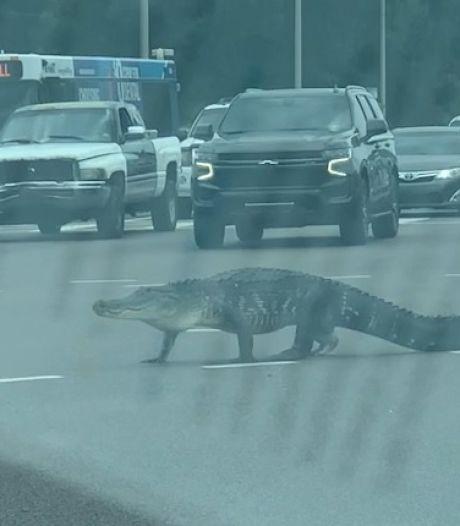 Un gigantesque alligator bloque la circulation en Floride