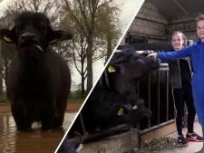 Deze melkveehouderij stapte over op waterbuffels: 'Je moet er heel lief voor zijn'
