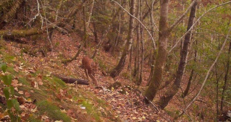 Op 27 augustus werd een lynx gefotografeerd door een onbemande wildcamera van een vrijwilliger van Landschap vzw en Welkom Wolf in de Semoisvallei, in het zuiden van het land. Beeld Maarten Cuvelier