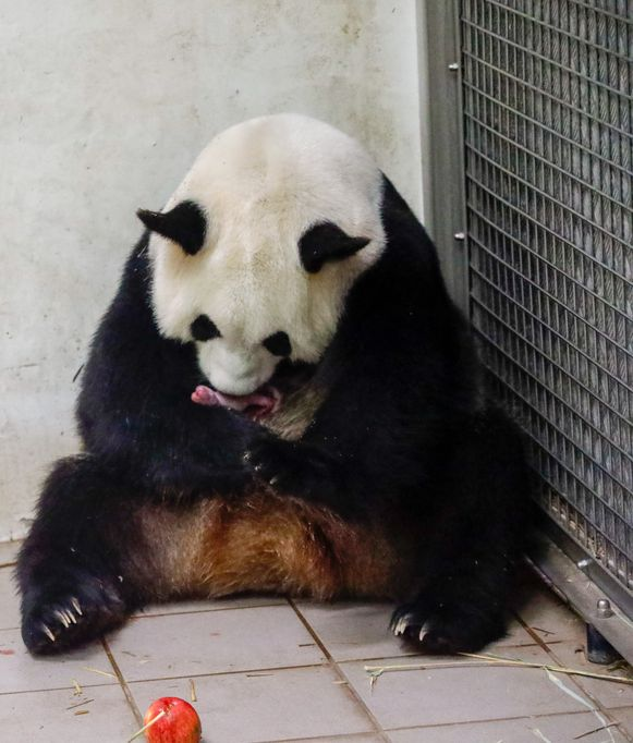Pandatweeling geboren in Pairi Daiza.