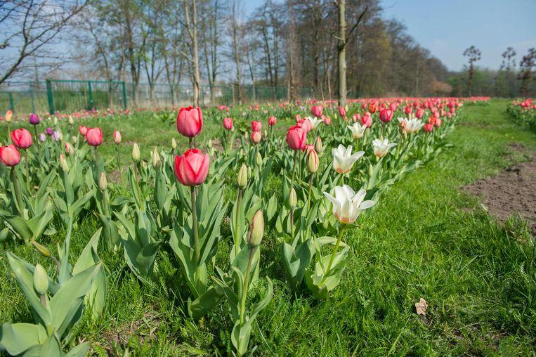 Heel wat tulpen staan op dit moment al in bloei.