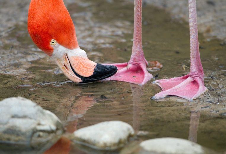 Een flamingo drinkt water Beeld epa
