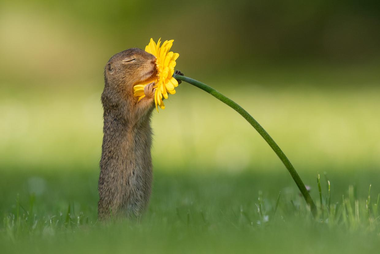 De inmiddels beroemde grondeekhoorn die aan een bloem snuffelt.
