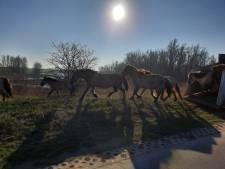 Zeventien konikpaarden grazen vanaf nu in de Afferdense en Deestse Waarden: honden aan de lijn