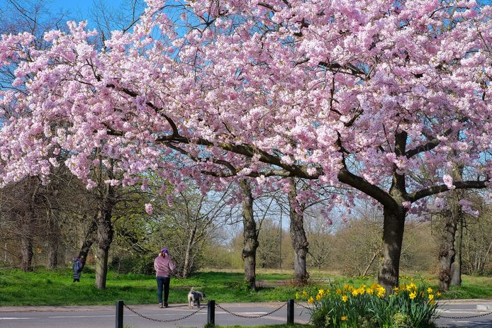 Komen er straks Sakura's of Japanse kerselaars als herdenkingsbomen aan de woonzorgcentra van Sakura? Gemeenteraadslid Alain Debbaut lanceerde het voorstel op de gemeenteraad.