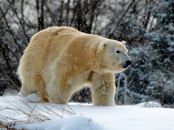 Mannetjesijsbeer doodt vrouwtje tijdens seks in