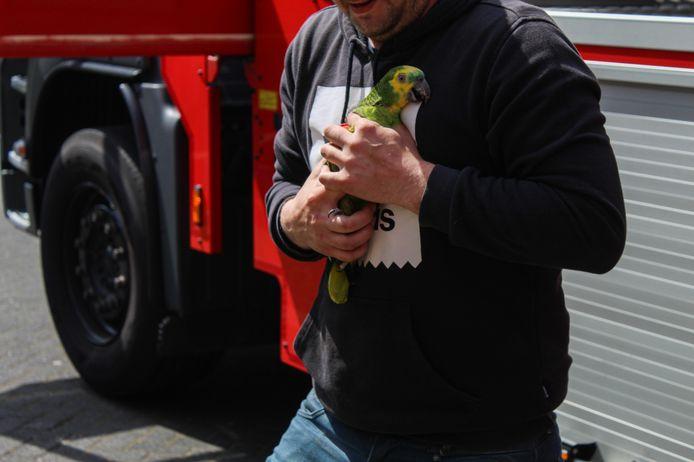 Een ontsnapte papegaai is vrijdagmiddag door de brandweer uit een boom gehaald in Arnhem