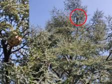 Un premier nid de frelons asiatiques découvert à Seraing
