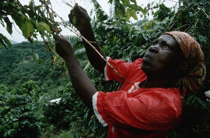 Een vrouw plukt koffiekersen van de boom.