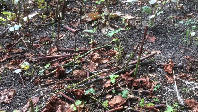 Na het maaien van het onkruid laten groenwerkers de stengels liggen, wat volgens GroenLinks voor veel aanwas zorgt.