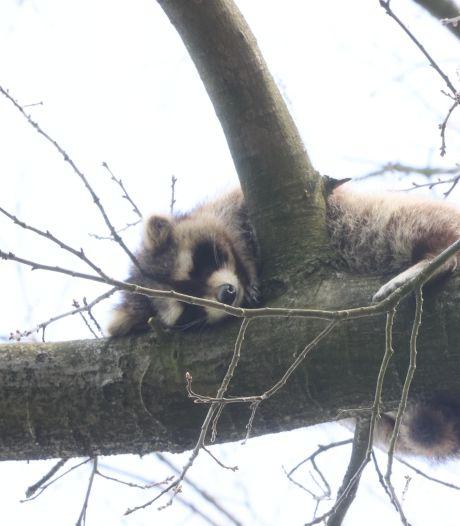 Gemeente Vught gaat jager opdracht geven om wasbeer in boom te doden