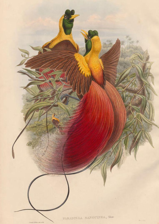Rode paradijsvogel, John Gould, 1804-1881 Beeld