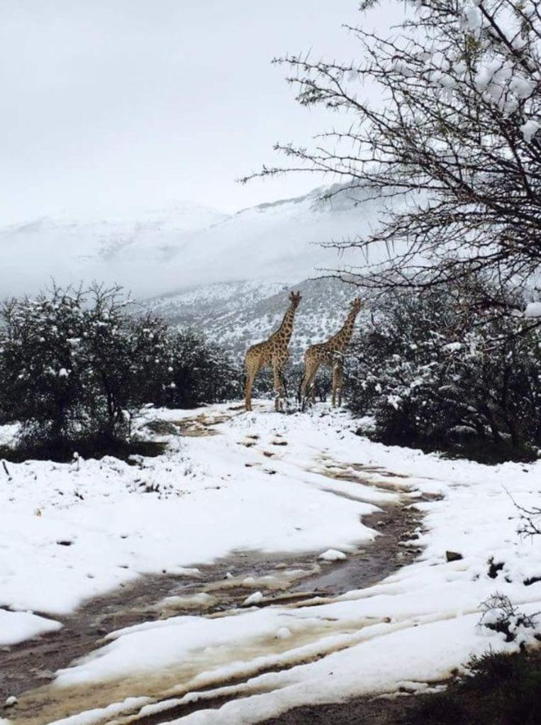 Safari In Ga >> Het is winter in Zuid-Afrika en dat zullen deze giraffen ...