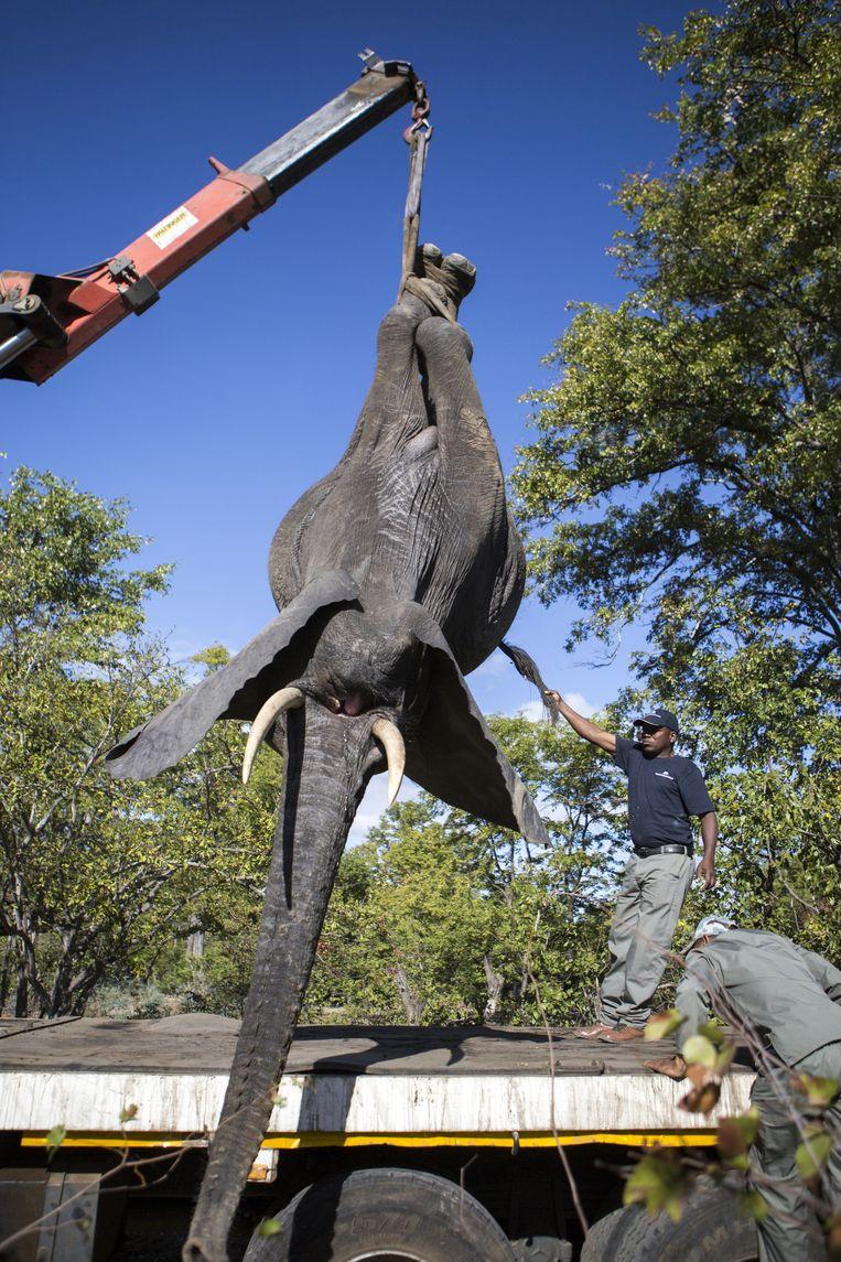 Een verdoofde olifant wordt op de truck gehesen waarmee hij naar de verlaadplek vervoerd zal worden. Beeld Julius Schrank