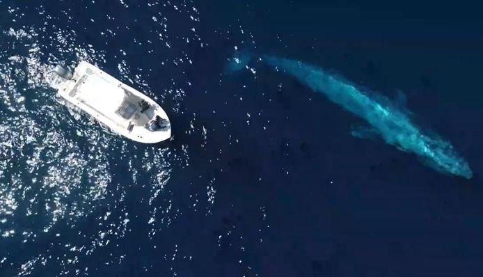 De magnifiques images d'une baleine bleue qui s'approche d'un bateau au large de la côte californienne.