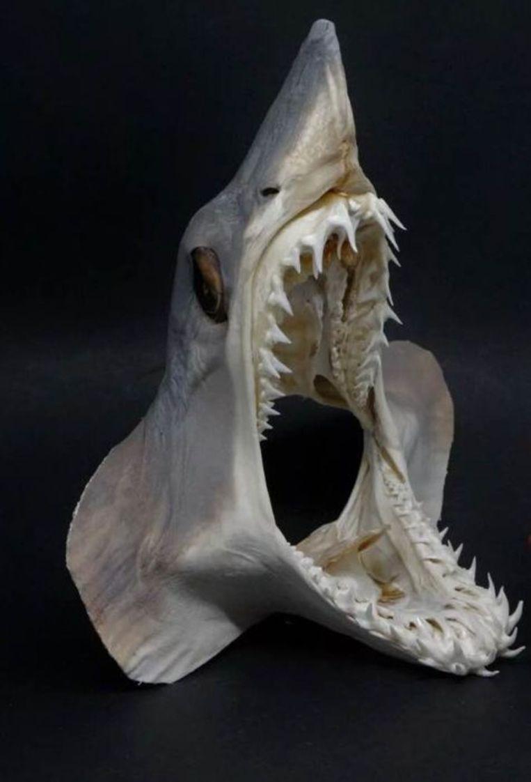 Kop van de bedreigde makreelhaai bij Catawiki te koop. Beeld Catawiki