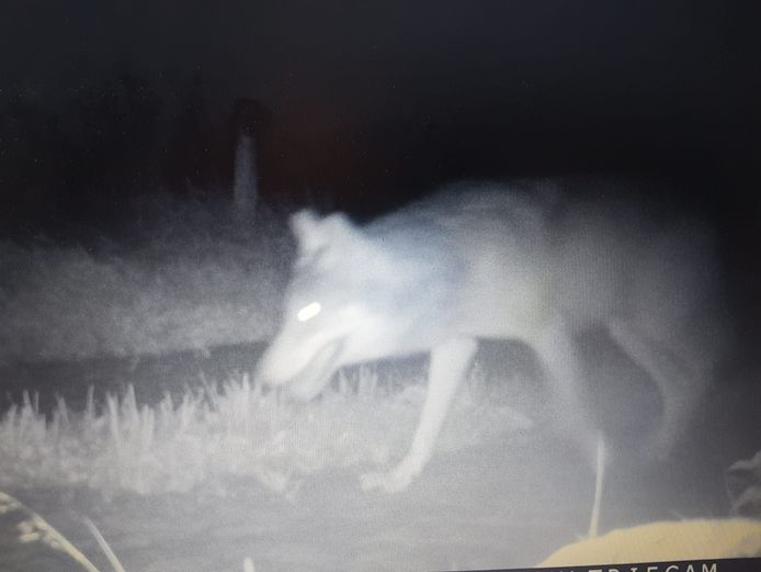 Deze wolf werd door een wildcamera vastgelegd naast een weiland aan de Lemelerveldseweg in Heino. Even later greep hij een schaap in een sloot naast het weiland.