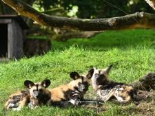 Wilde hond Champinion mag in ZooParc Overloon dames het hof maken, zijn soort staat op uitsterven