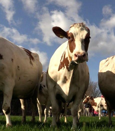 Video van de Dag | Koeien hoteldebotel: ze mogen weer de wei in