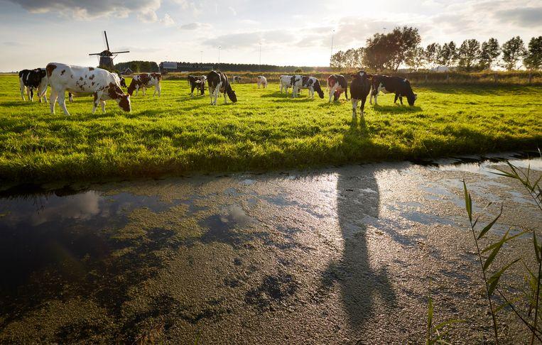 Koeien in de wei, Zoeterwoude. Beeld Martijn Beekman